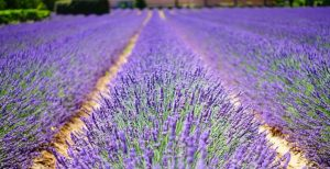 10 Fun Facts about Lavender Essential Oil