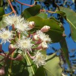 10 Facts About Eucalyptus Oil