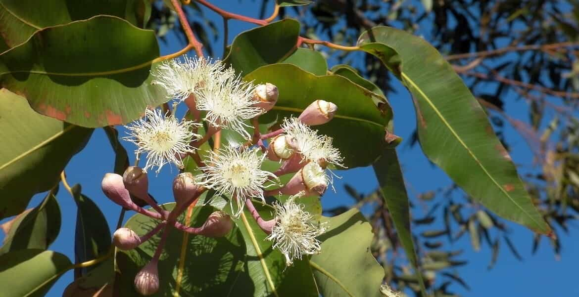 Read more about the article 10 Facts About Eucalyptus Oil