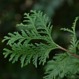 Cypress Essential Oil – SPECIAL