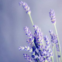 Lavender French Alpine Essential Oil