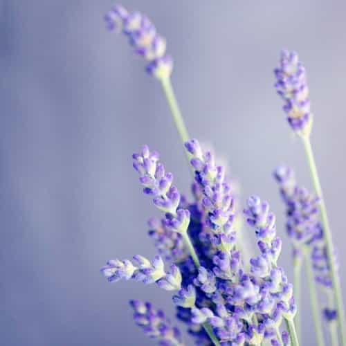 Lavender French Alpine Essential Oil